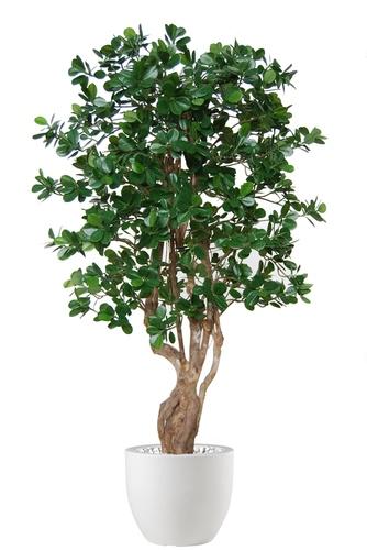 Ficus Panda Malabar
